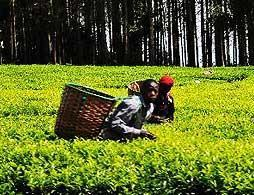 Visit to Kiambethu Tea Farm