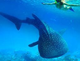 Swim with Whalesharks on Ningaloo Reef