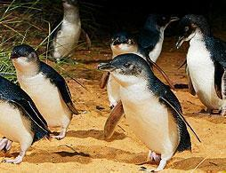 Phillip Island Penguins Direct-View Platform